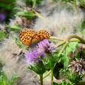 写真: 浜薊に止まるミドリヒョウモン