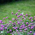 写真: 千日紅の中の紋白蝶(モンシロチョウ)