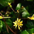 写真: 咲き始めた石蕗(ツワブキ)