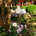 Photos: 秋明菊(シュウメイギク)
