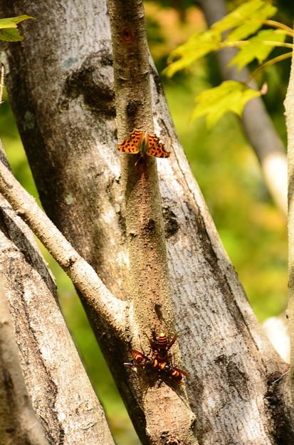 スズメバチに挑むキタテハ