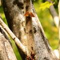 写真: スズメバチに挑むキタテハ
