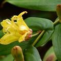 写真: 黄花の突き抜き杜鵑(キバナノツキヌキホトトギス)