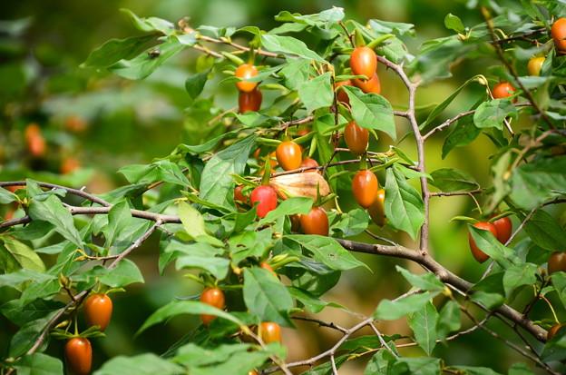 老爺柿(ロウヤガキ)