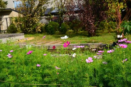 秋桜はまだ咲き始め
