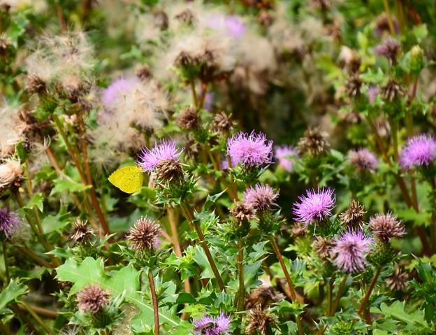浜薊の中の黄蝶(キチョウ)