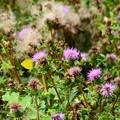写真: 浜薊の中の黄蝶(キチョウ)