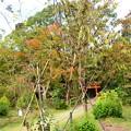 写真: 植え直された不断桜