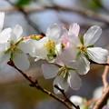 写真: 四季桜(シキザクラ)