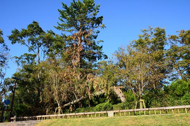まだ松が倒れている半木の道