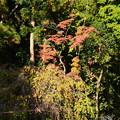 写真: 紅葉と風流桜