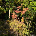 Photos: 紅葉と風流桜