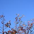 写真: 桜もみじの上に飛行機雲