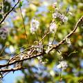 写真: 椿地蔵脇の十月桜(ジュウガツザクラ)