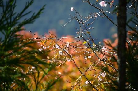 紅葉と桜の実光院