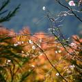 写真: 紅葉と桜の実光院