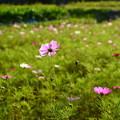 大原の秋桜はまだ咲き始め、、、