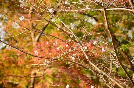紅葉の前の四季桜