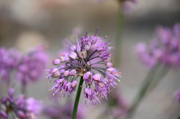 Photos: 玉紫(タマムラサキ)