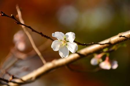 紅葉の前の四季桜(シキザクラ)