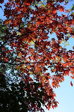 日吉ヶ丘高校脇の紅葉
