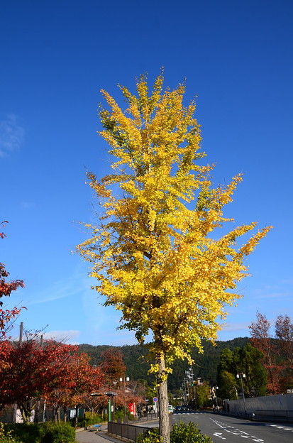岡崎公園の公孫樹