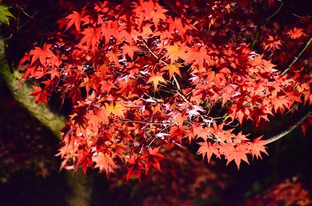 ライトアップされた紅葉
