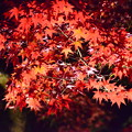 写真: ライトアップされた紅葉
