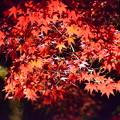 Photos: ライトアップされた紅葉