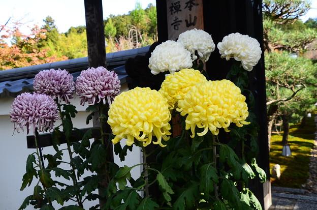 三門脇の菊