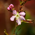 写真: ヒマラヤ桜(ヒマラヤザクラ)