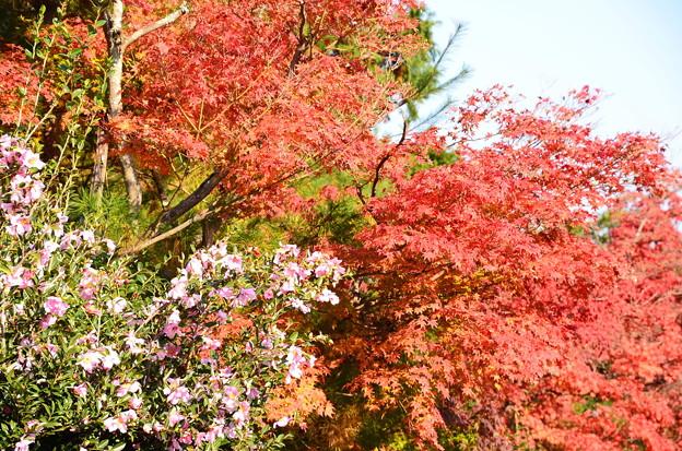 紅葉の前の山茶花(サザンカ)