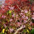 紅葉の前のヒマラヤ桜(ヒマラヤザクラ)