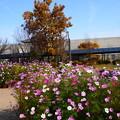 12月の秋桜