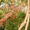 Photos: お正月の紅葉