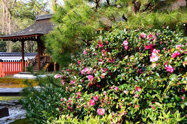 三井神社脇の山茶花