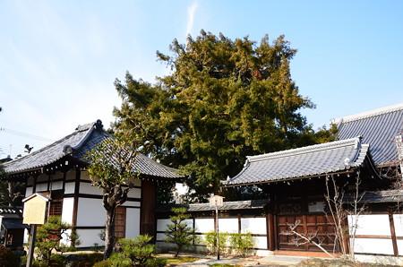 天寧寺の大榧(カヤ)