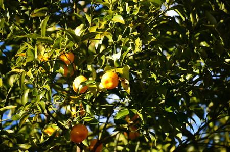 日本橘(ニホンタチバナ)
