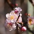 写真: 薄紅の梅