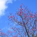 写真: 参道脇の紅梅