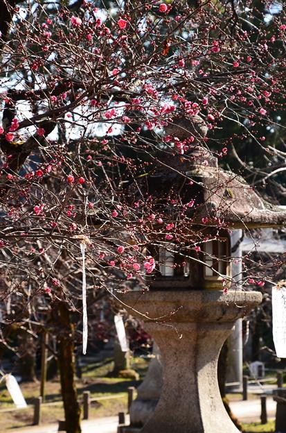 石灯籠と紅梅