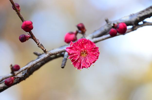 紅梅も咲き始め
