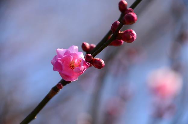 咲き始めた紅梅