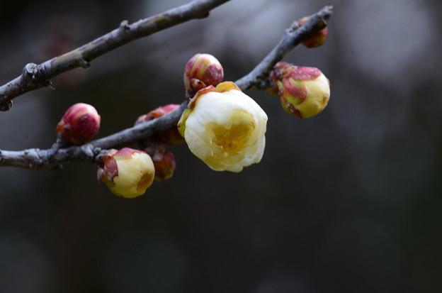 咲き始めた玉牡丹(ギョクボタン)