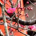 Photos: 光琳の梅