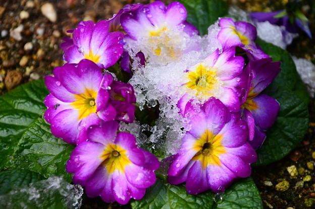 雪を被ったプリムラ