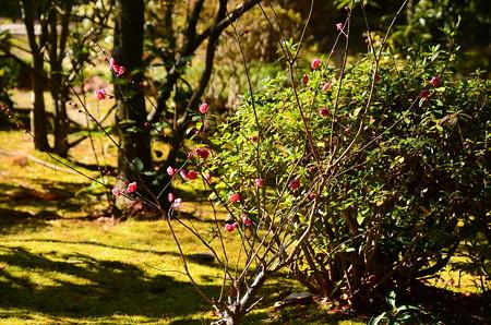 平安の庭の紅梅