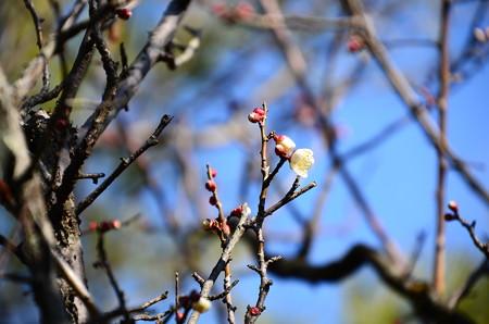 泰平閣脇の白梅も咲き始め