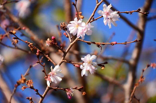 松宿院の十月桜(ジュウガツザクラ)