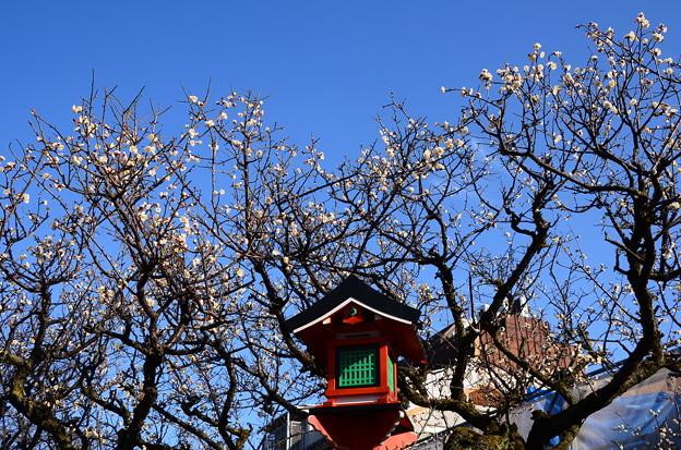 祇園白川の白梅